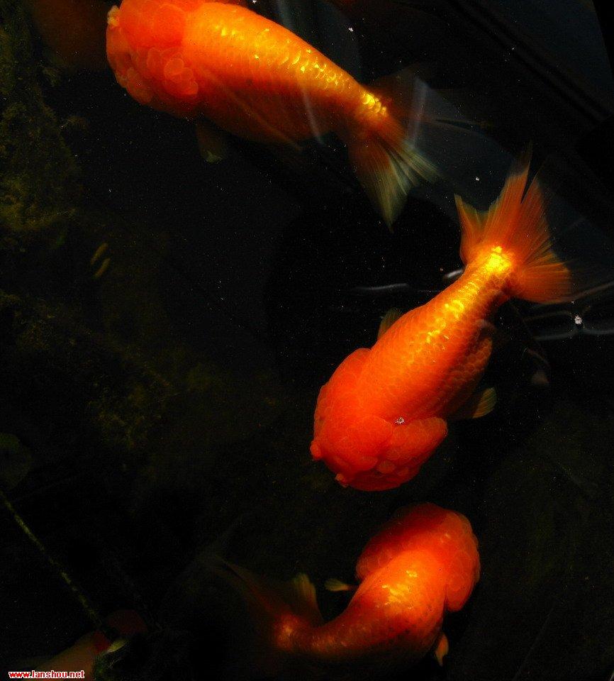 老虎头部-虎头盆养虎头鱼,虎头虎脑  图片:  图片:图片